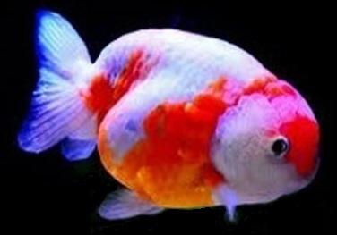 gold fish f